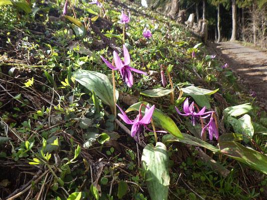 咲き始めた斜面のカタクリ