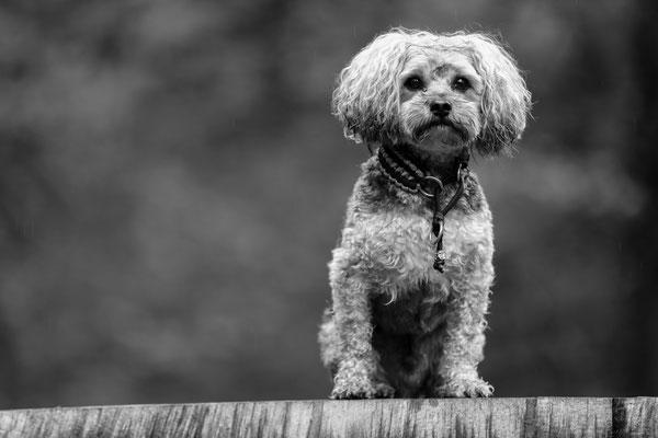 Hunde-FotoShooting-Rheinzabern-Tierfotografie-Juergen-Sedlmayr-04