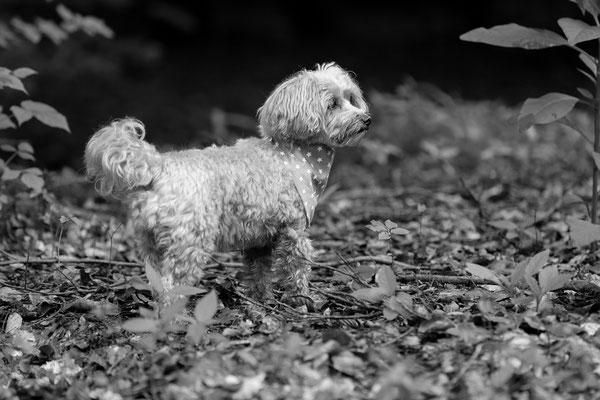 Hunde-FotoShooting-Rheinzabern-Der-Fotoraum-Juergen-Sedlmayr-01