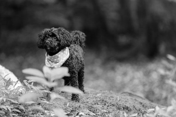 Hunde-FotoShooting-Rheinzabern-Der-Fotoraum-Juergen-Sedlmayr-03