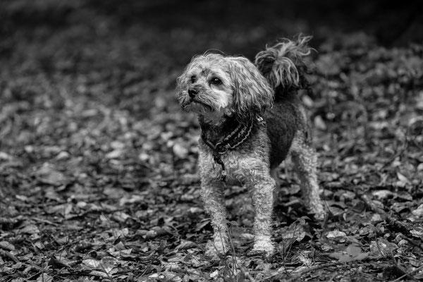Hunde-Shooting-Rheinzabern-DER-FOTORAUM-06