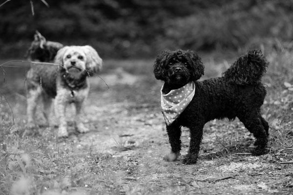 Hunde-FotoShooting-Rheinzabern-Der-Fotoraum-Juergen-Sedlmayr-11