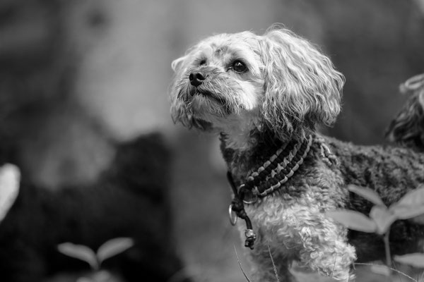 Tierfotografie-Hunde-FotoShooting-Rheinzabern-Juergen-Sedlmayr-03
