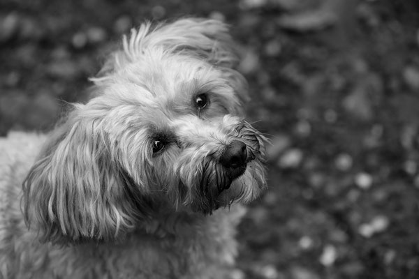 Tierfotografie-Hunde-FotoShooting-Rheinzabern-Juergen-Sedlmayr-07