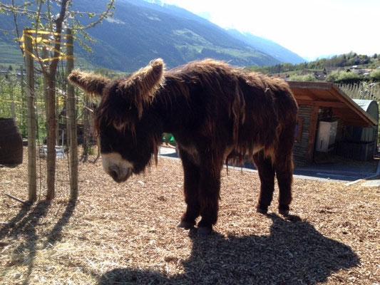 ein riesiger Poitou Esel