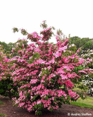 Die beispiellosen Blüten (Brakteen) glühen tiefrosa aus der Ferne und bilden einen einmaligen Kontrast zu den dunkelgrünen Blättern.