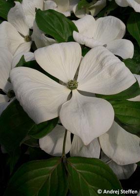 Die Hochblüten können bis zu 20 cm groß werden