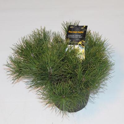 Kleinwüchsige Kiefern sind Charakterpflanzen