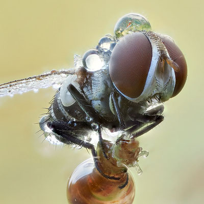 Fliege im Morgentau