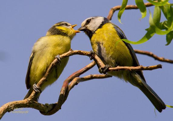 Blaumeise mit Jungvogel