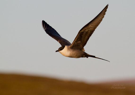 Falkenraubmöwe