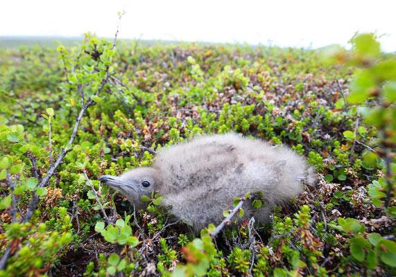 junge Falkenraubmöwe
