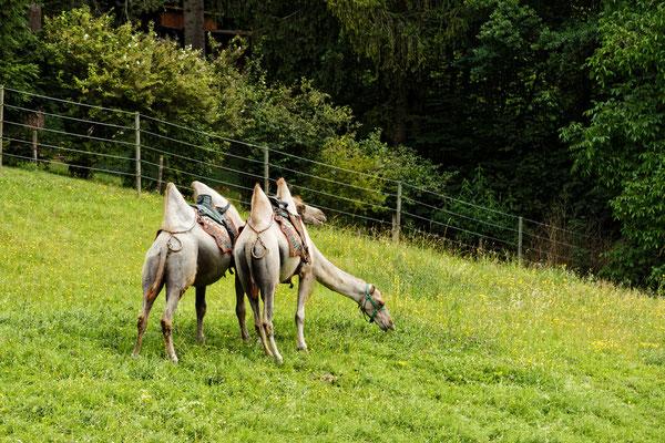 Die Kamele von Grub