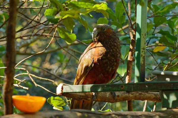 Kaka (im Zoo Auckland)