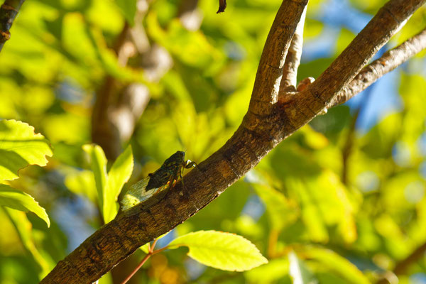 Eine Zikade (inzwischen überall in Neuseeland - unüberhörbar)