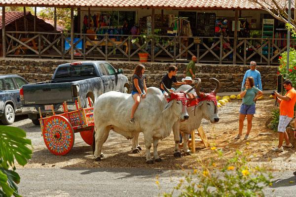 Zebus mit traditionellem Wagen