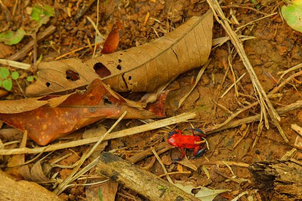 Erdbeerfrosch - klein (2 cm) rot und giftig- Baumsteigerfrosch