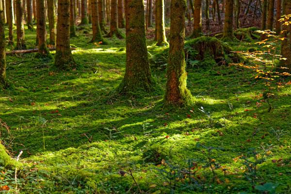 Grüne Matten im Fichtenwald