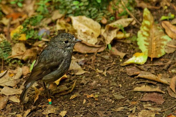 Neuseeland Robin