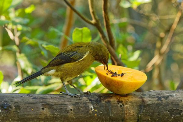 Bellbird (im Zoo Auckland)
