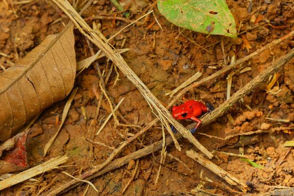 Erdbeerfrosch - klein (2 cm) rot und giftig - Baumsteigerfrosch