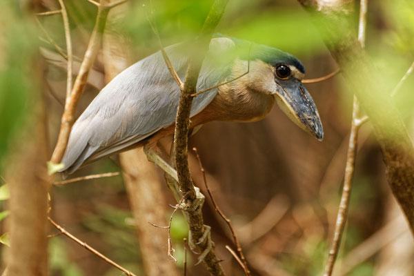 Boat-billed Heron Kahnschnabel