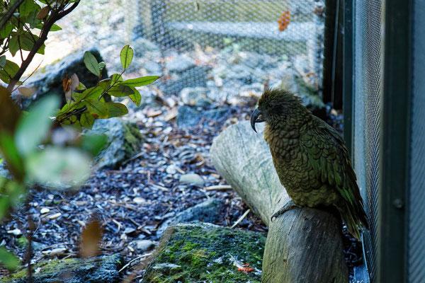 Kea (im Zoo Auckland)