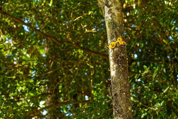 Greifschwanz-Lanzenotter in gelb (gibt es in unterschiedlichen Farben) am Baum
