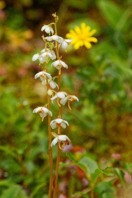 Orchidee: Zweiblättrige Waldhyazinthe (Platanthera bifolia)