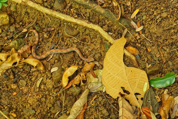 Weißschwanz-Hakennasen-Lanzenotter (am Wegesrand) gehört zu den Vipern