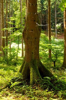 interessante Baumform (Fichte)