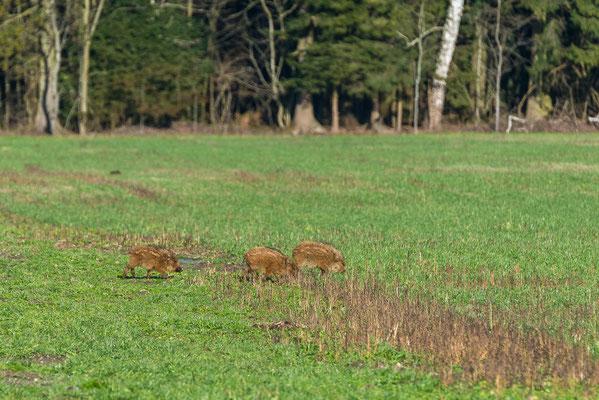 Junge Wildschweine im Fanel Naturschutzgebbiet