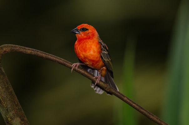 Webervogel