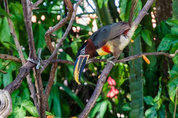Chestnut-eared Aracari , Tucan