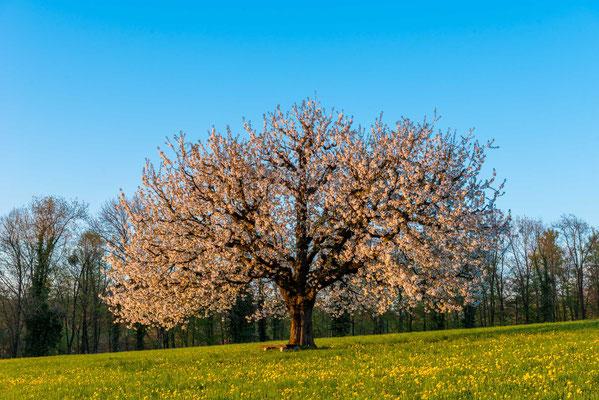 Kirschbaum im Baselbiet