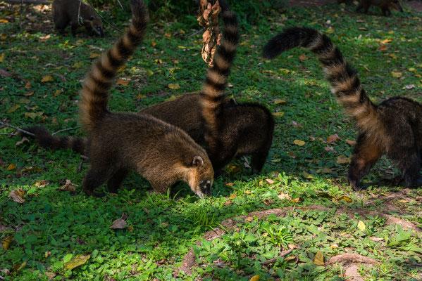 Die Nasenbären stehlen alles was Fress- und Erreichbar ist!