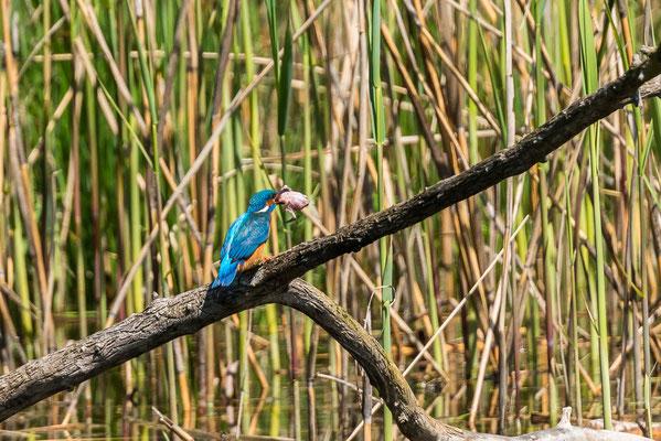 Kingfisher im Fanel