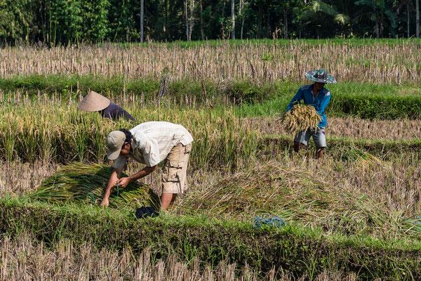 Reisbauern am Weg zum Ijen