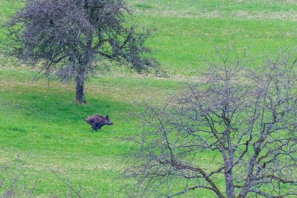 Wildschweine in der Buhalde Biberstein