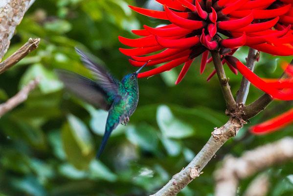 Ein Humming-Bird auf Nektarsuche.