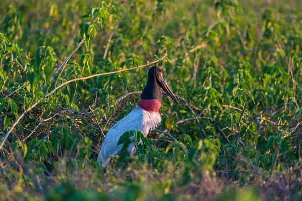 Jabiru Storch - hat seinen Hals gefüllt mit Futter für seine Jungen