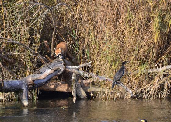 Über Mittag begegnete ich überraschend einem Fuchs an der Aare in Biberstein, wollte er wohl den Kormoran jagen?