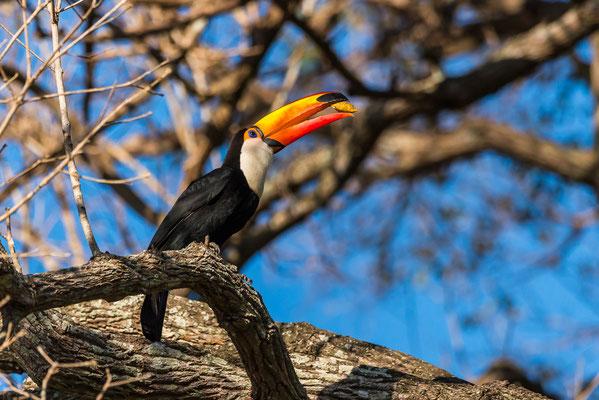 Geschickt packt der Tukan mit seinem riesigen Schnabel eine Frucht aus