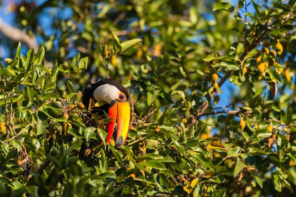 Tukan auf Nahrungssuche