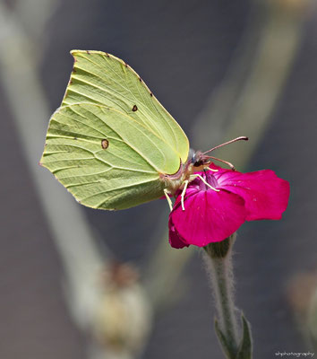 Zitronenfalter (Gonepteryx rhamni L.)