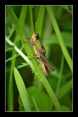Grashüpfer (Gomphocerinae)