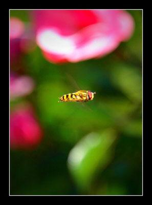 Schwebfliege (Syrphidae) im Flug....