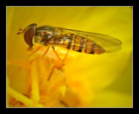 Schwebfliege (Syrphidae)