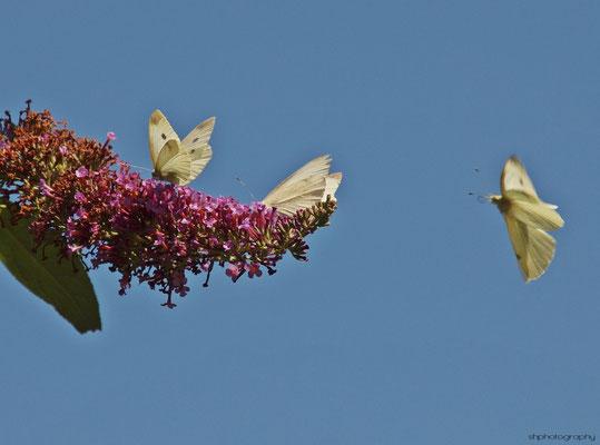 Weißlinge (Pieridae)