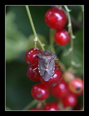 Wanze (Heteroptera)